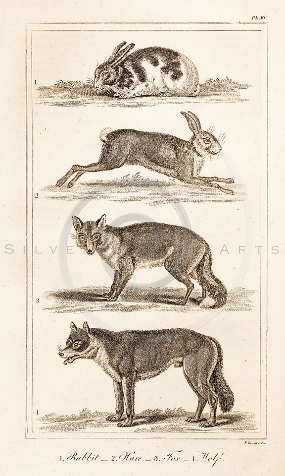 Vintage Illustration of Rabbit, Hare, Fox, and Wolf from History of the Earth and Illustrated Nature by Oliver Goldsmith, 1850 . Antique digital download of old print - rabbit, hare, bunny, fox, wolf, wolves, animal, animals, nature, wild.  The natural age-toning, paper stains, and antique printing imperfections are preserved in this 1800s stock image.