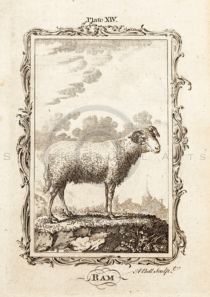 Vintage 1700s Sepia Illustration of a Ram - NATURAL HISTORY by Count de Buffon.