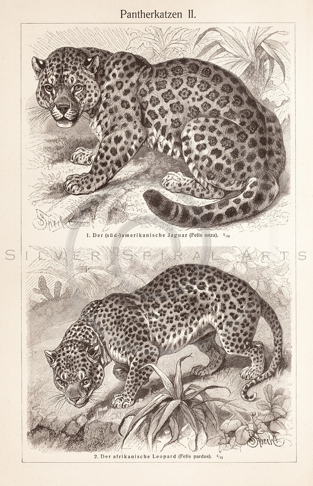 Vintage sepia illustration of Panthers from Meyers Konversations Lexikon 1913 Encyclopedia. Antique digital download of old print - panther; leopard; spotted; cat; feline; animal; wild.  The natural age-toning, paper stains, and antique printing imperfections are preserved in this 1900s stock image.