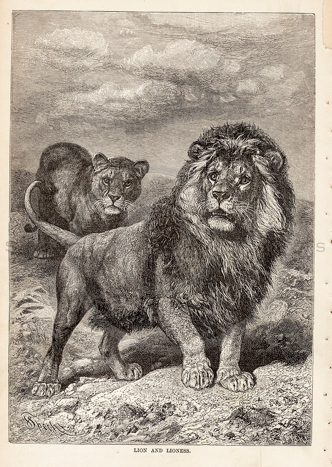 Vintage 1800s Sepia Illustration of Lions.