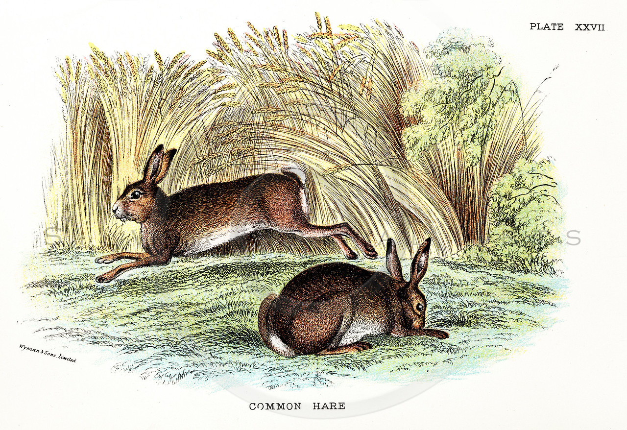 Vintage 1800s Color Illustration of Common Hares - A HANDBOOK TO THE CARNIVORA by R.B. Sharpe.  The natural patina, age-toning, imperfections, and old paper antiquing of this vintage 19th century illustration are preserved in this image.