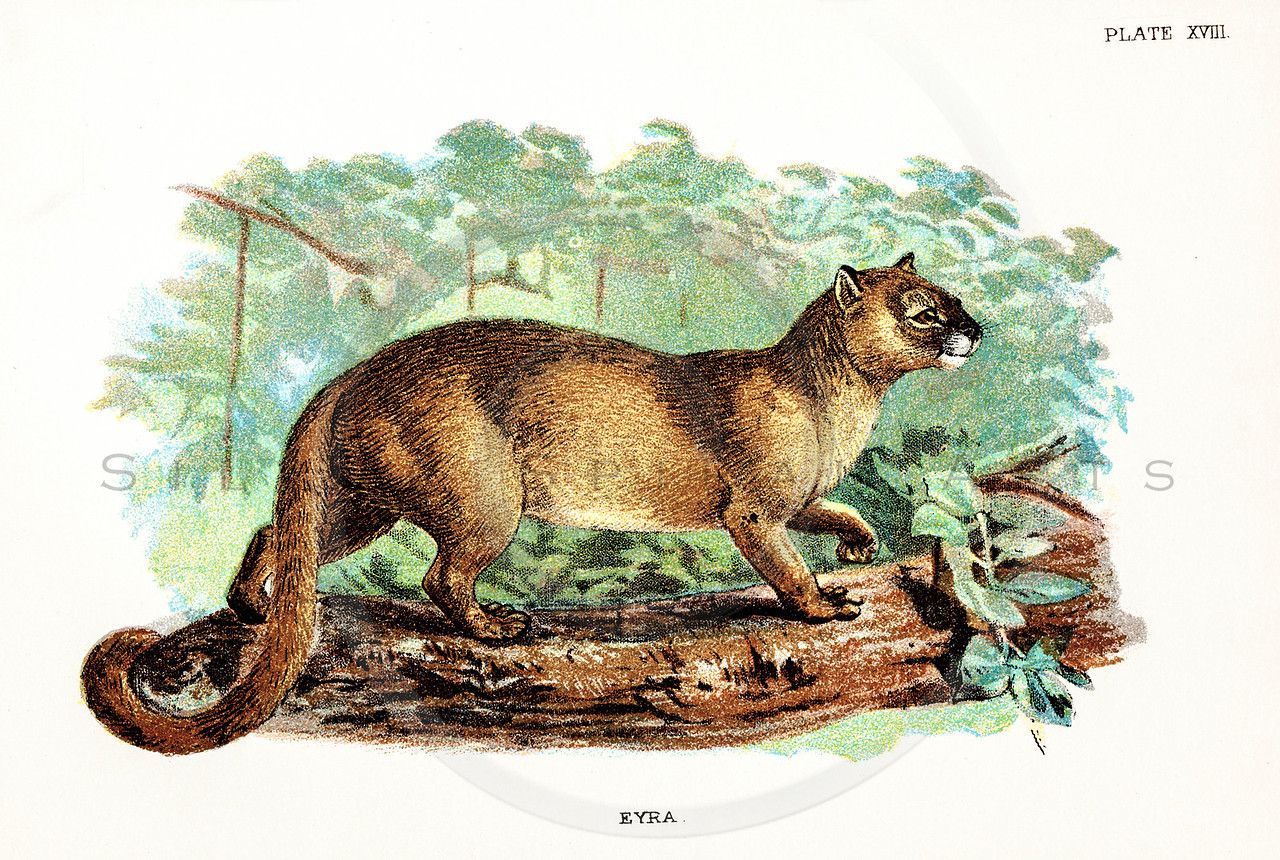 Vintage 1800s Color Illustration of an Eyra - A HANDBOOK TO THE CARNIVORA by R.B. Sharpe.  The natural patina, age-toning, imperfections, and old paper antiquing of this vintage 19th century illustration are preserved in this image.