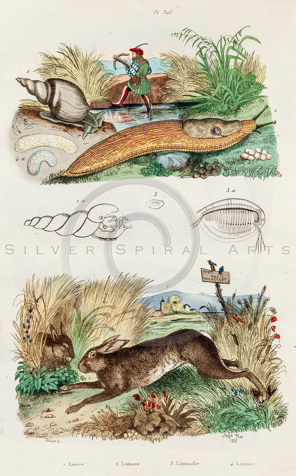 Vintage 1800s Color Illustration of Slug and Rabbit - DICTIONNAIRE PITTORESQUE D'HISTOIRE NATURELLE by F.E. Guerrin.