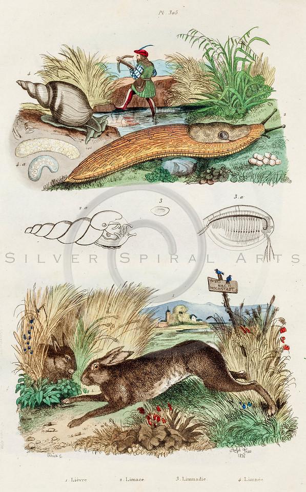 Vintage 1800s Color Illustration of Slug and Rabbit - DICTIONNAIRE PITTORESQUE D'HISTOIRE NATURELLE by F.E. Guerrin.