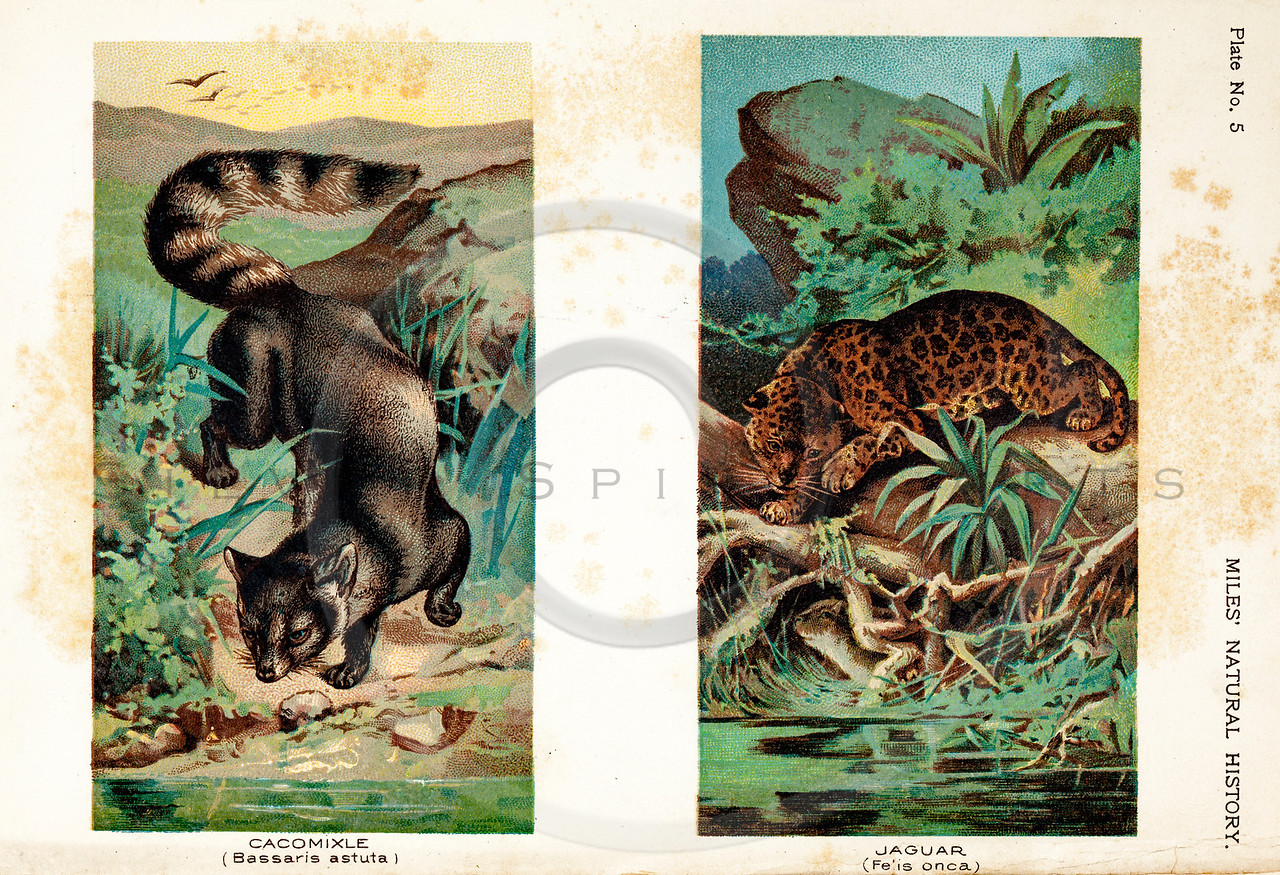Vintage 1800s Color Illustration of Jaguar and Cacomixtle - FIVE HUNDRED FASCINATING ANIMAL STORIES by Alfred Miles.