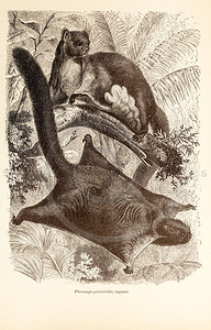Vintage 1800s Sepia Illustration of Wild Taguans - ANIMATED CREATIONS, J.G. Wood.