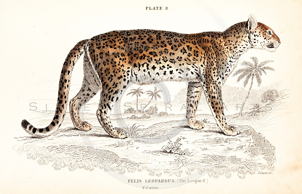 Vintage 1800s Color Illustration of a Leopard from THE NATURALIST'S LIBRARY by William Jardine.  The natural patina, age-toning, imperfections, and old paper antiquing of this vintage 19th century illustration are preserved in this image.