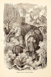 Vintage 1800s Sepia Illustration of Wild Elephants - ANIMATED CREATIONS, J.G. Wood.