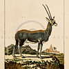 "Vintage Color Illustration of hand colored 18th century German animal engraving from Comte de Buffon's ""NATURAL SCIENCE"", (""NATURGESCHICHSE"").  Germany, 1786."