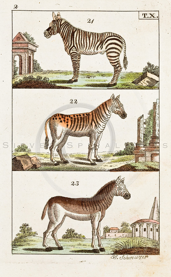 "Vintage Color Horse Illustration of hand colored copper engraving from ""UNTERHALTUNGEN NATURGESCHICHTE"" (Conversations form Natural History) by J.X. Schmuzer in Germany in 1810"