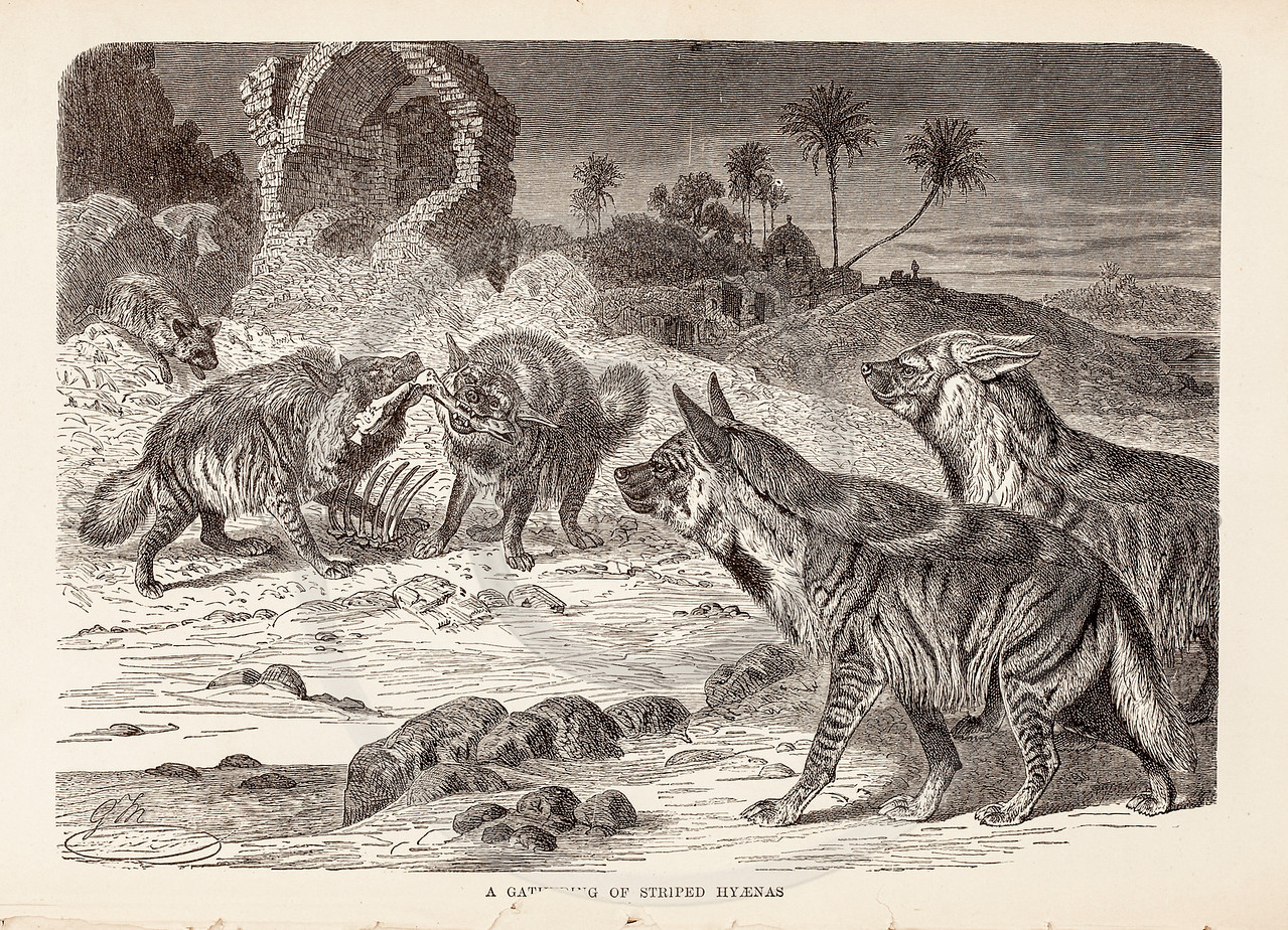 Vintage 1800s Sepia Illustration of Hyenas.