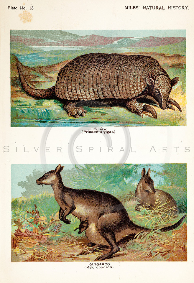Vintage 1800s Color Illustration of Armadillo and Kangaroo - FIVE HUNDRED FASCINATING ANIMAL STORIES by Alfred Miles.