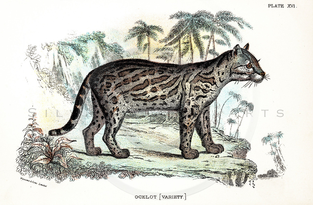 Vintage 1800s Color Illustration of an Ocelot - A HANDBOOK TO THE CARNIVORA by R.B. Sharpe.  The natural patina, age-toning, imperfections, and old paper antiquing of this vintage 19th century illustration are preserved in this image.