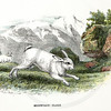 Vintage 1800s Color Illustration of a Mountain Hare - A HANDBOOK TO THE CARNIVORA by R.B. Sharpe.  The natural patina, age-toning, imperfections, and old paper antiquing of this vintage 19th century illustration are preserved in this image.
