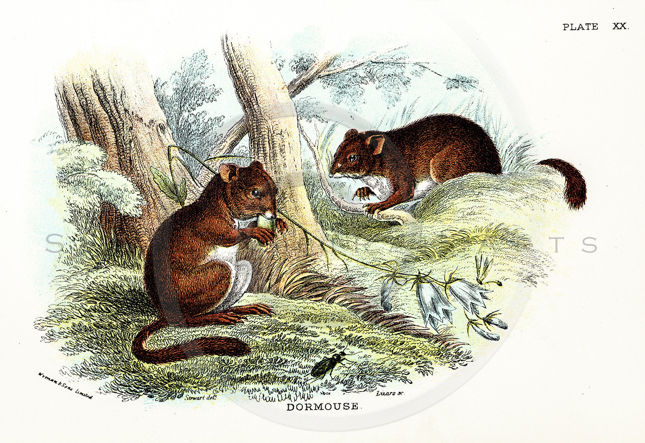 Vintage 1800s Color Dormouse Illustration - A HANDBOOK TO THE CARNIVORA by R.B. Sharpe.  The natural patina, age-toning, imperfections, and old paper antiquing of this vintage 19th century illustration are preserved in this image.