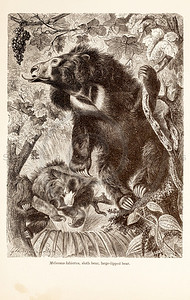 Vintage 1800s Sepia Illustration of Wild Bear  - ANIMATED CREATIONS, J.G. Wood.