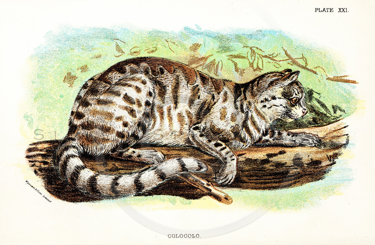 Vintage 1800s Color Illustration of a Colocolo Cat - A HANDBOOK TO THE CARNIVORA by R.B. Sharpe.  The natural patina, age-toning, imperfections, and old paper antiquing of this vintage 19th century illustration are preserved in this image.