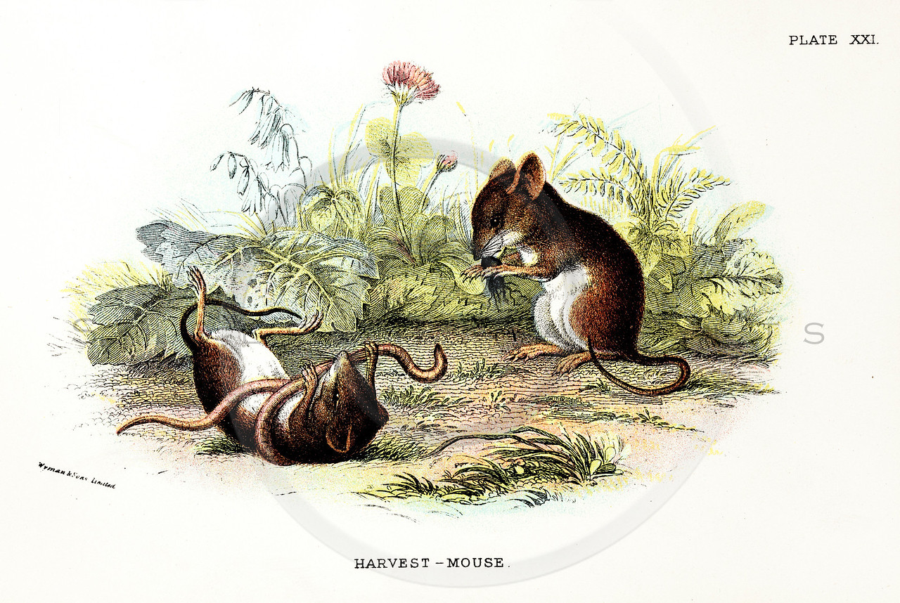 Vintage 1800s Color Illustration of Harvest Mice - A HANDBOOK TO