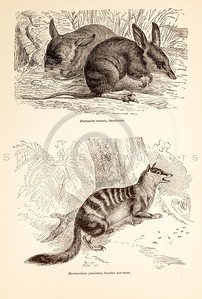 Vintage 1800s Sepia Illustration of Wild Bandicoots and Anteaters - ANIMATED CREATIONS, J.G. Wood.