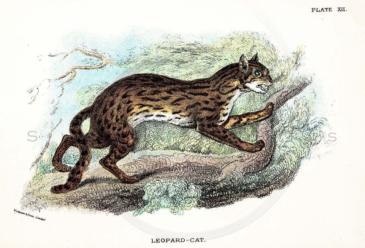 Vintage 1800s Color Illustration of a Leopard Cat - A HANDBOOK TO THE CARNIVORA by R.B. Sharpe.  The natural patina, age-toning, imperfections, and old paper antiquing of this vintage 19th century illustration are preserved in this image.