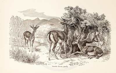 Vintage 1800s Sepia Illustration of Wild Gazelle - ANIMATED CREATIONS, J.G. Wood.