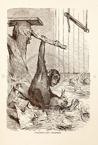 Vintage 1800s Sepia Illustration of Wild Chimpanzee - ANIMATED CREATIONS, J.G. Wood.