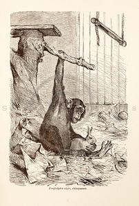 Vintage 1800s Sepia Illustration of Wild Chimpanzee - ANIMATED CREATIONS, J.G. Wood.