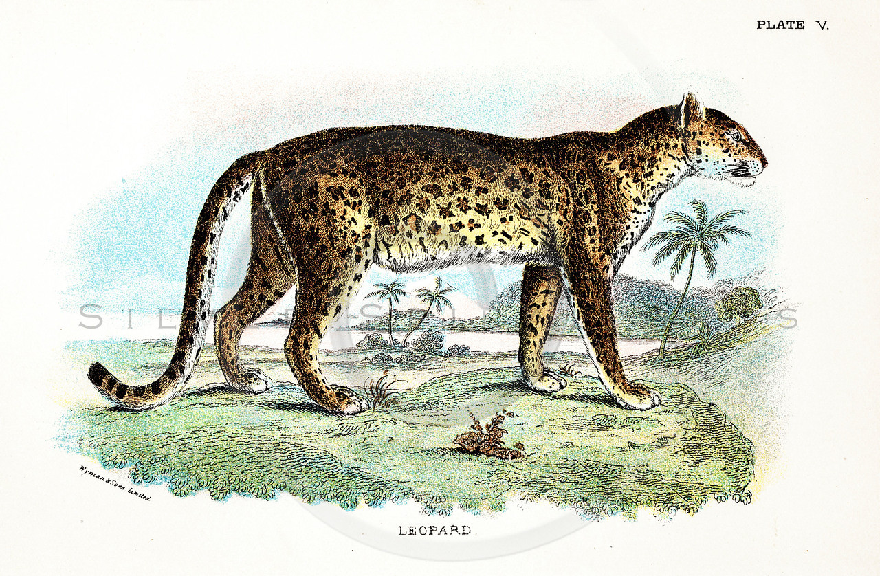 Vintage 1800s Color Illustration of a Leopard - A HANDBOOK TO THE CARNIVORA by R.B. Sharpe.  The natural patina, age-toning, imperfections, and old paper antiquing of this vintage 19th century illustration are preserved in this image.