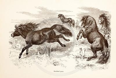 Vintage 1800s Sepia Illustration of Wild Ponies - ANIMATED CREATIONS, J.G. Wood.