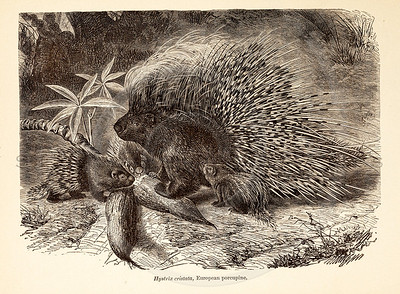 Vintage 1800s Sepia Illustration of Wild Porcupines - ANIMATED CREATIONS, J.G. Wood.