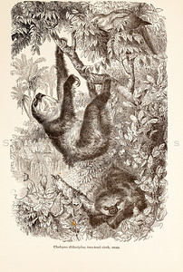 Vintage 1800s Sepia Illustration of Wild Two-Toed Sloths  - ANIMATED CREATIONS, J.G. Wood.