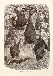 Vintage 1800s Sepia Illustration of Wild Flying Foxes - ANIMATED CREATIONS, J.G. Wood.