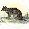 Vintage 1800s Color Illustration of a Fishing Cat - A HANDBOOK TO THE CARNIVORA by R.B. Sharpe.  The natural patina, age-toning, imperfections, and old paper antiquing of this vintage 19th century illustration are preserved in this image.