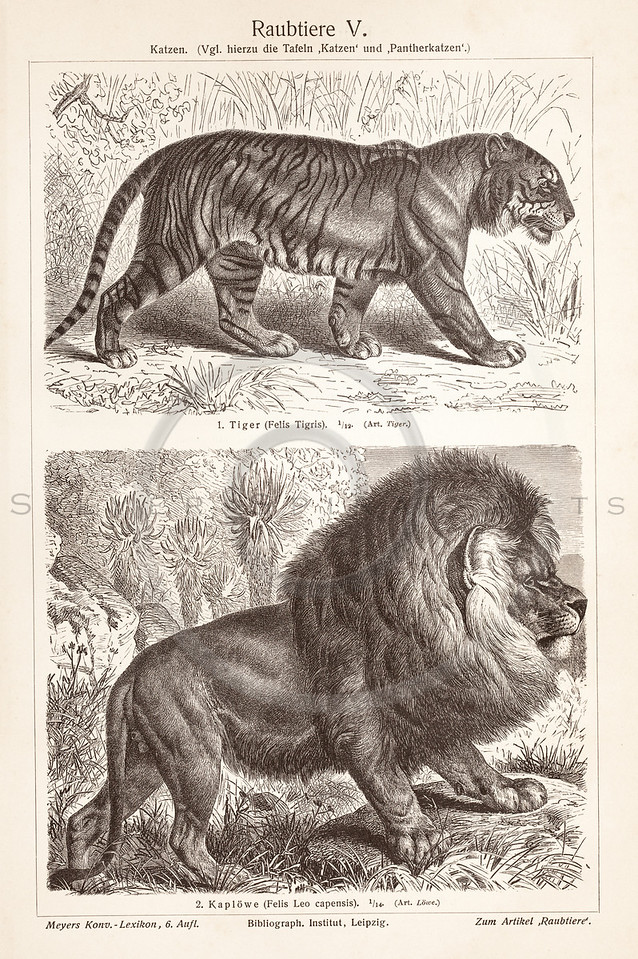Vintage sepia illustration of Tiger and Lion from Meyers Konversations Lexikon 1913 Encyclopedia. Antique digital download of old print - tiger; lion; cats; feline; wild; animal.  The natural age-toning, paper stains, and antique printing imperfections are preserved in this 1900s stock image.