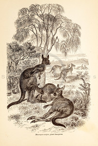 Vintage 1800s Sepia Illustration of Wild Kangaroos  - ANIMATED CREATIONS, J.G. Wood.