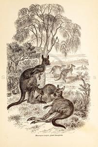Vintage 1800s Sepia Illustration of Wild Kangaroos  - ANIMATED CREATIONS, J.G. Wood.