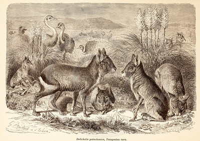 Vintage 1800s Sepia Illustration of Wild Cavy  - ANIMATED CREATIONS, J.G. Wood.
