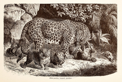 Vintage 1800s Sepia Illustration of Wild Leopards  - ANIMATED CREATIONS, J.G. Wood.