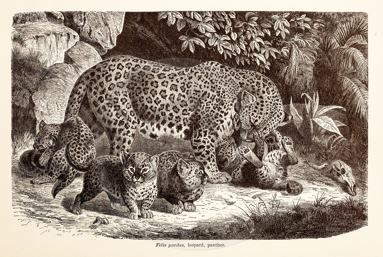 Vintage 1800s Sepia Illustration of Wild Leopards  - ANIMATED CREATIONS, J.G. Wood.