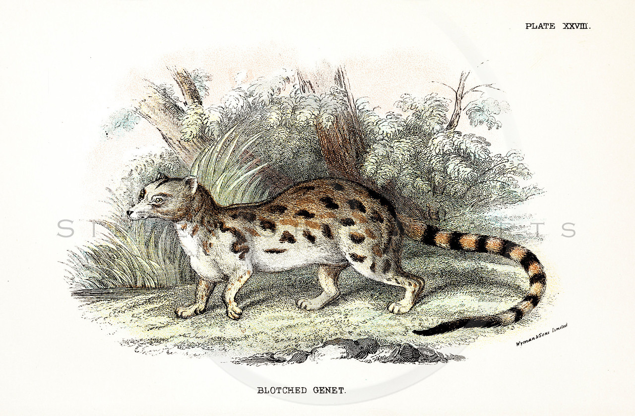 Vintage 1800s Color Illustration of a Genet - A HANDBOOK TO THE CARNIVORA by R.B. Sharpe.  The natural patina, age-toning, imperfections, and old paper antiquing of this vintage 19th century illustration are preserved in this image.