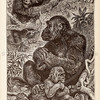 Vintage 1800s Sepia Illustration of Gorillas.