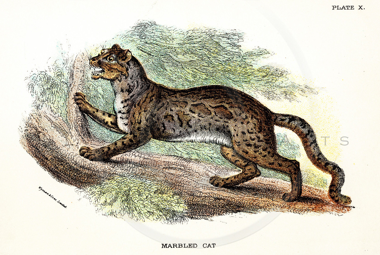 Vintage 1800s Color Illustration of a Marbled Cat - A HANDBOOK TO THE CARNIVORA by R.B. Sharpe.  The natural patina, age-toning, imperfections, and old paper antiquing of this vintage 19th century illustration are preserved in this image.