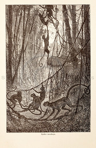 Vintage 1800s Sepia Illustration of Wild Monkeys  - ANIMATED CREATIONS, J.G. Wood.