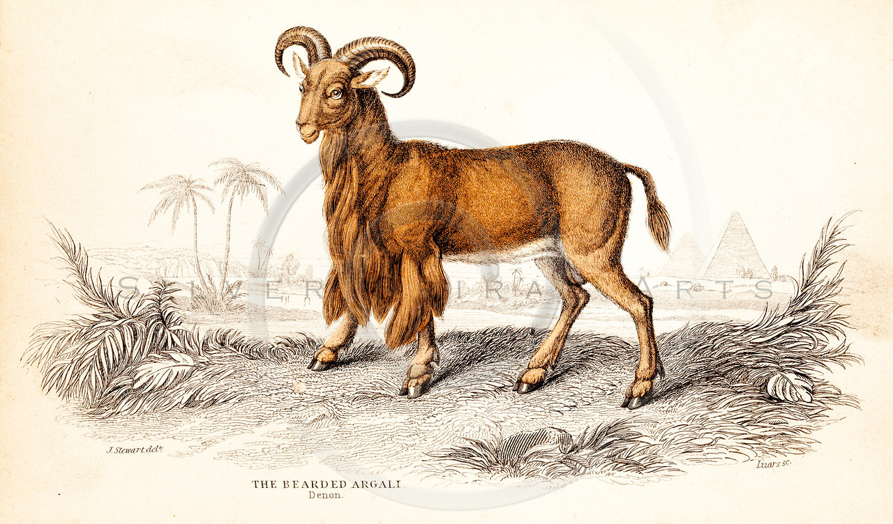 Vintage 1800s Color Animal Illustration of Mountain Sheep from THE NATURALIST'S LIBRARY by William Jardine.  The natural patina, age-toning, imperfections, and old paper antiquing of this vintage 19th century illustration are preserved in this image.