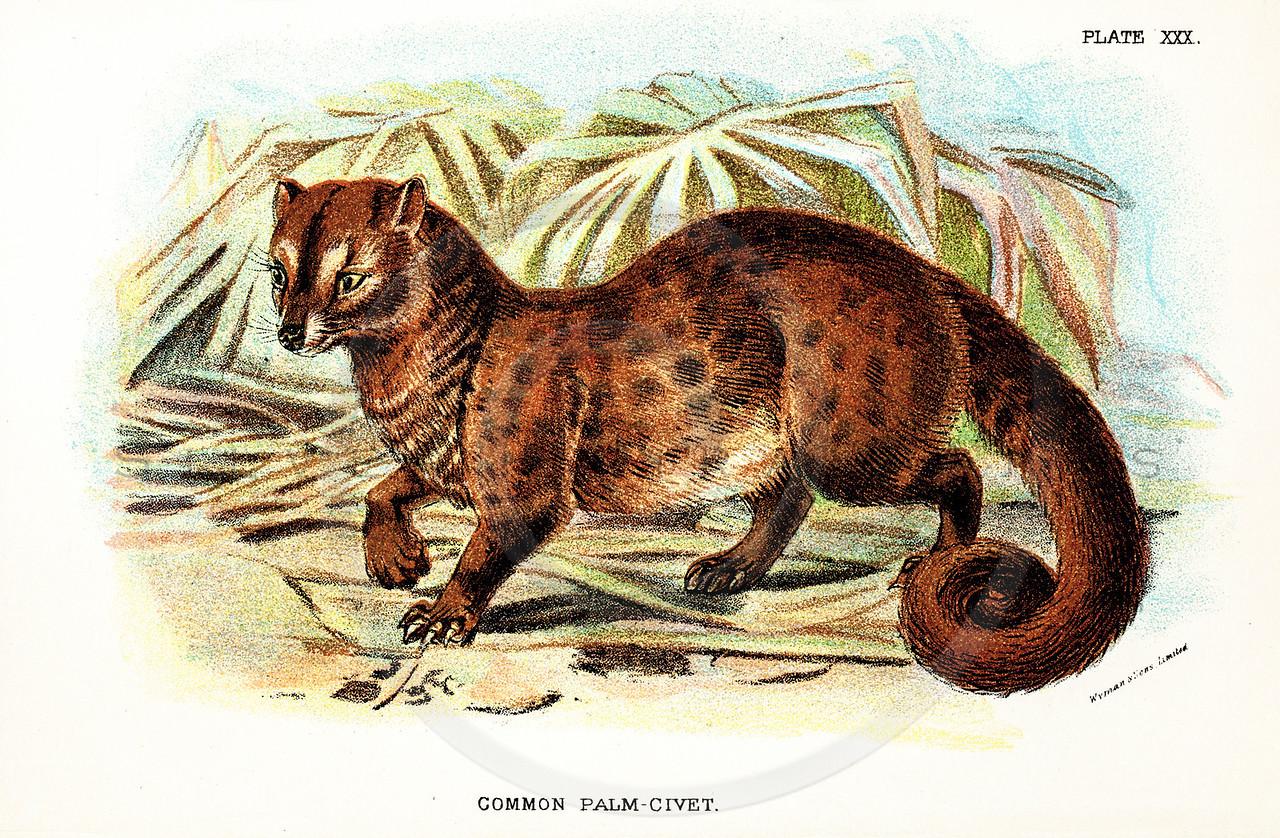 Vintage 1800s Color Illustration of a Palm-Civet - A HANDBOOK TO
