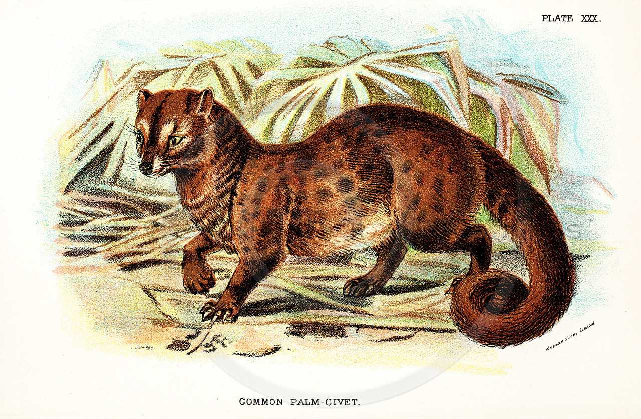 Vintage 1800s Color Illustration of a Palm-Civet - A HANDBOOK TO