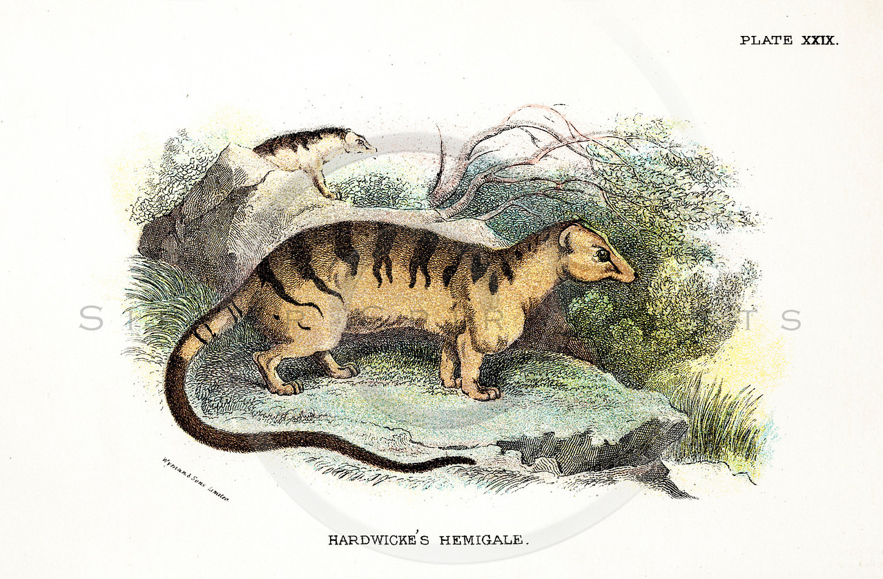 Vintage 1800s Color Illustration of Hardwicke's Hemigale - A HANDBOOK TO THE CARNIVORA by R.B. Sharpe.  The natural patina, age-toning, imperfections, and old paper antiquing of this vintage 19th century illustration are preserved in this image.
