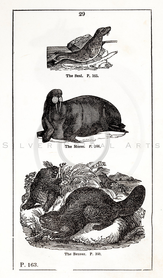 Vintage 1800s Black & White Illustration of Seal, Walrus, and Be