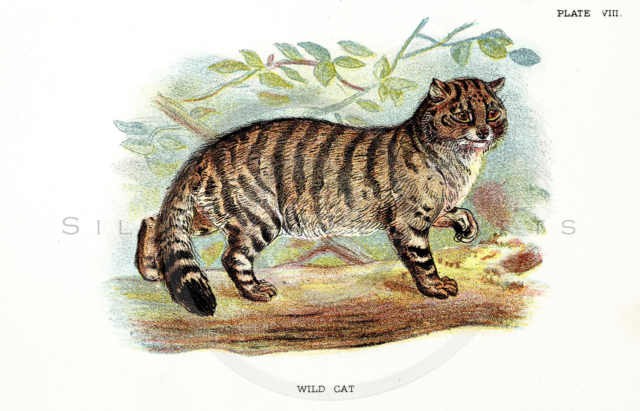 Vintage 1800s Color Illustration of a Wild Cat - A HANDBOOK TO THE CARNIVORA by R.B. Sharpe.  The natural patina, age-toning, imperfections, and old paper antiquing of this vintage 19th century illustration are preserved in this image.