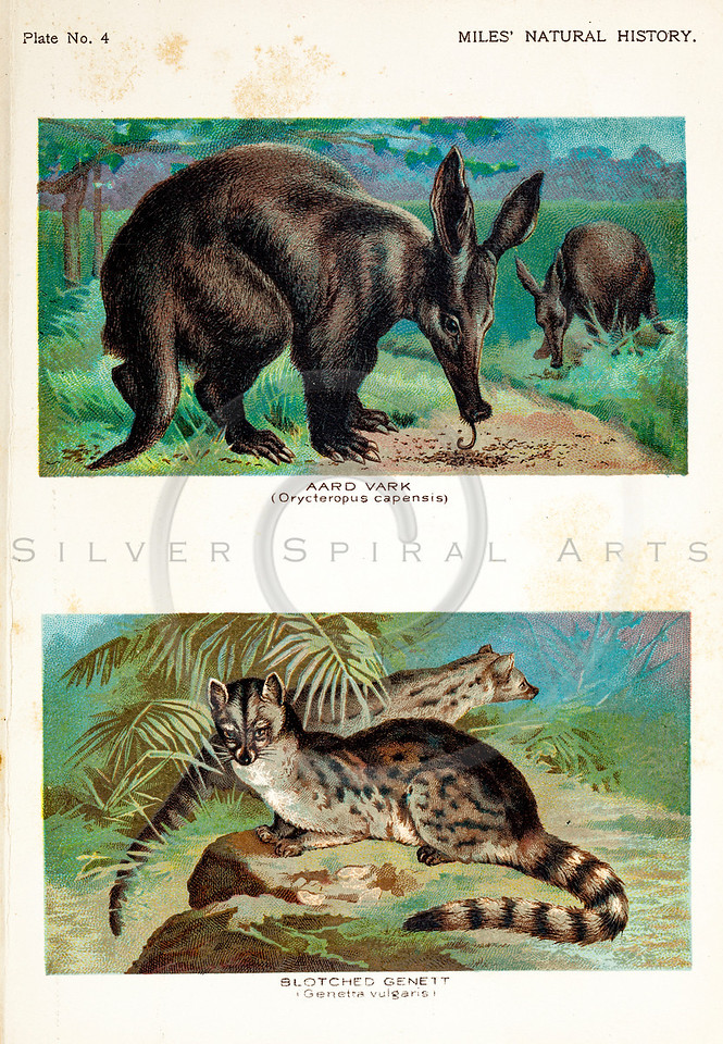 Vintage 1800s Color Illustration of Aardvark and Genet - FIVE HUNDRED FASCINATING ANIMAL STORIES by Alfred Miles.